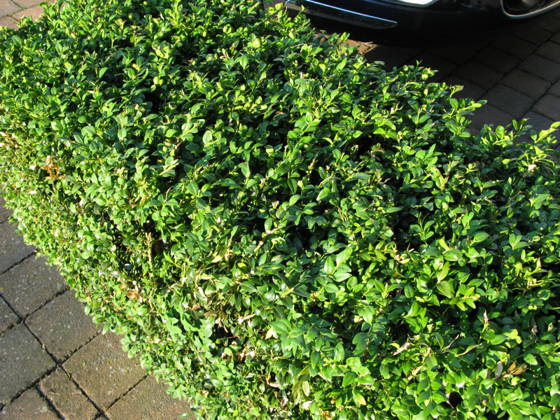 American Boxwood (Buxus Sempervirens) - 1079.4KB