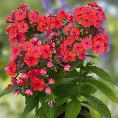 Foto: Phlox 'coral flame'