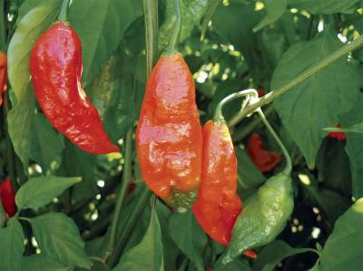 Peper 'Moruga scorpion yellow' (capsicum Chinense 'Moruga scorpion ...