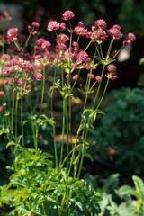 British Milifs&fb xd fragment http://www.mygarden.org/plants/1169-Astrantia-major-Roma?fb_xd_fragment