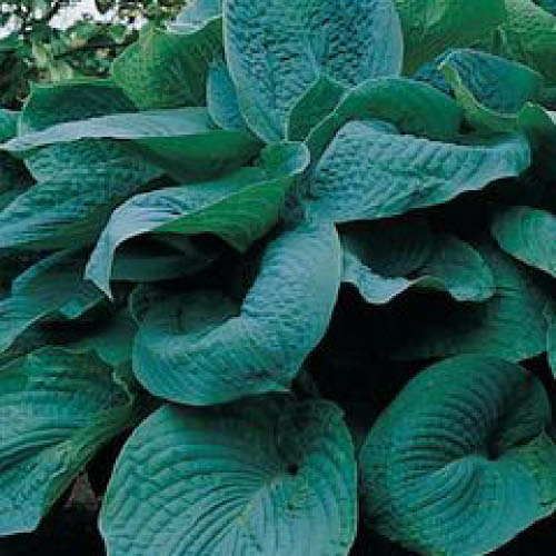 hosta 39 big daddy 39 garden my inventory pinterest big daddy herbaceous perennials and. Black Bedroom Furniture Sets. Home Design Ideas
