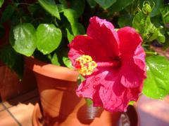 Foto: Hibiscus