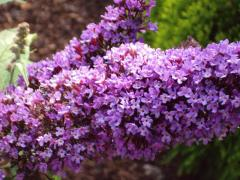 Photo: Buddleja davidii 'Adokeep'