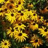 Foto: Rudbeckia 'Goldsturm'