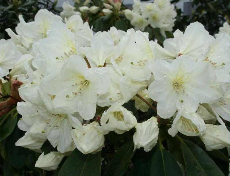 rhododendron 39 cunningham 39 s white 39 rhododendron. Black Bedroom Furniture Sets. Home Design Ideas