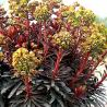 Photo: Euphorbia 'blackbird'