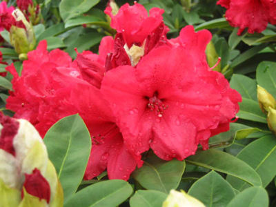 rododendron 39 red jack 39 rhododendron 39 red jack. Black Bedroom Furniture Sets. Home Design Ideas