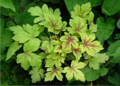 Foto: Heucherella 'Golden Zebra'
