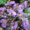 Foto: Lagerstroemia 'Muskogee'
