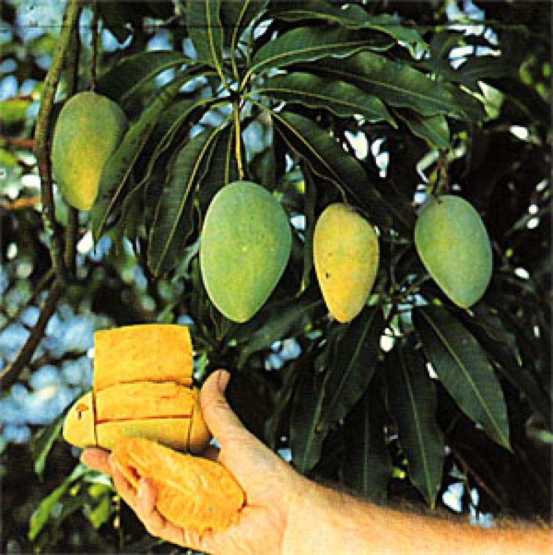 Mango mangifera indica - Fruit trees every type weather area ...