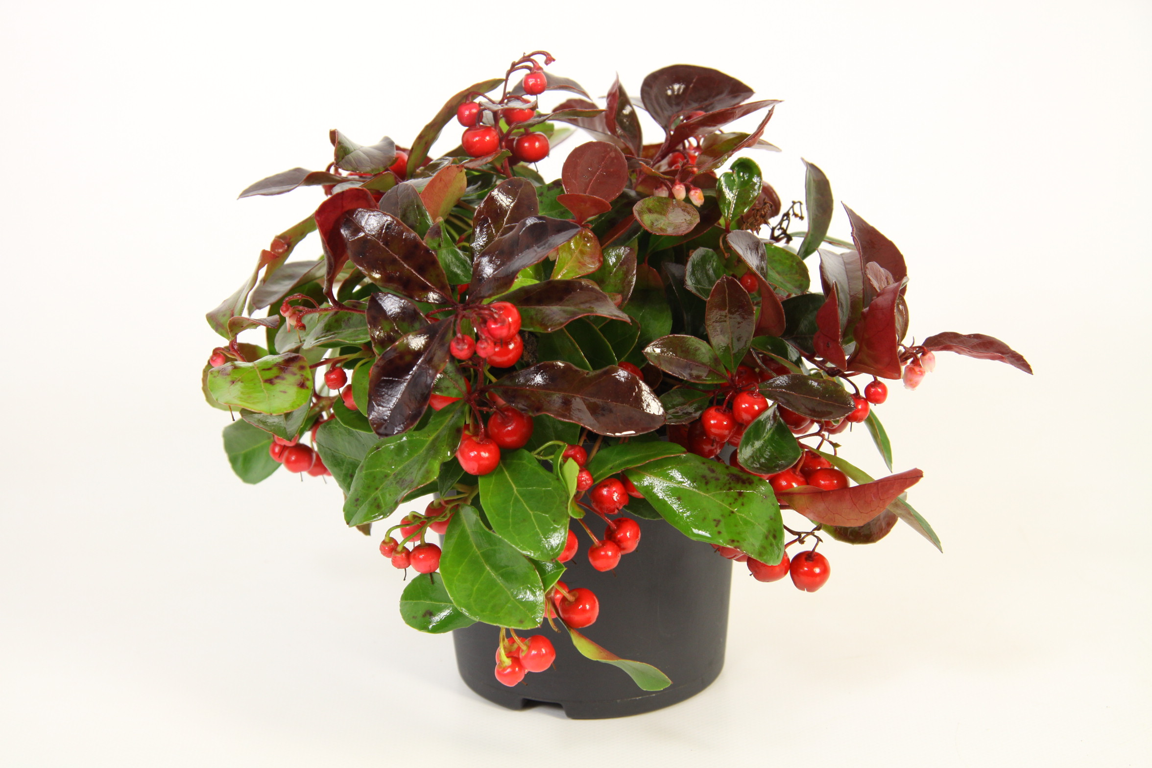 Bergthee 39 big berry 39 gaultheria 39 big berry 39 for Plante hivernale en pot
