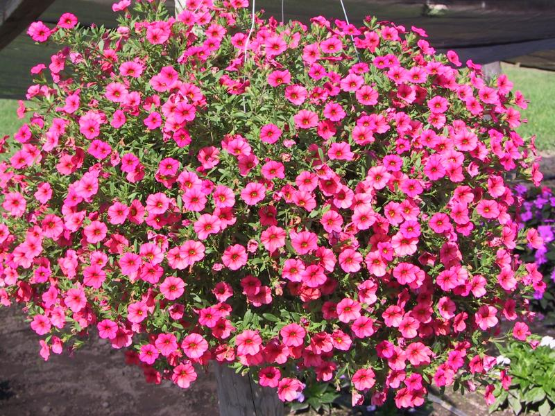 Million Bells 'Callie Painted Coral' (Calibrachoa 'Callie Painted ...: www.mijntuin.org/plants/6825-Petunia-mini-trailing