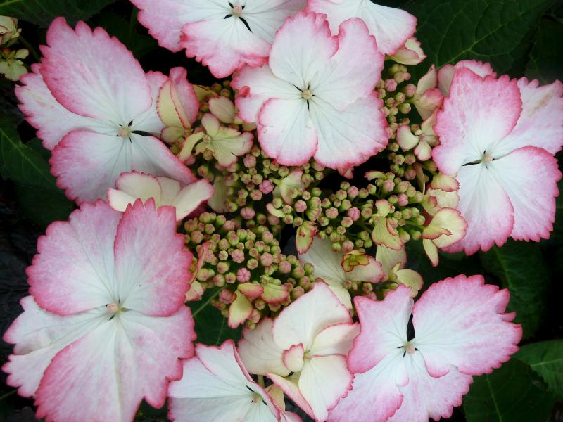 Foto: Hortensia 'Hovaria Love You Kiss'