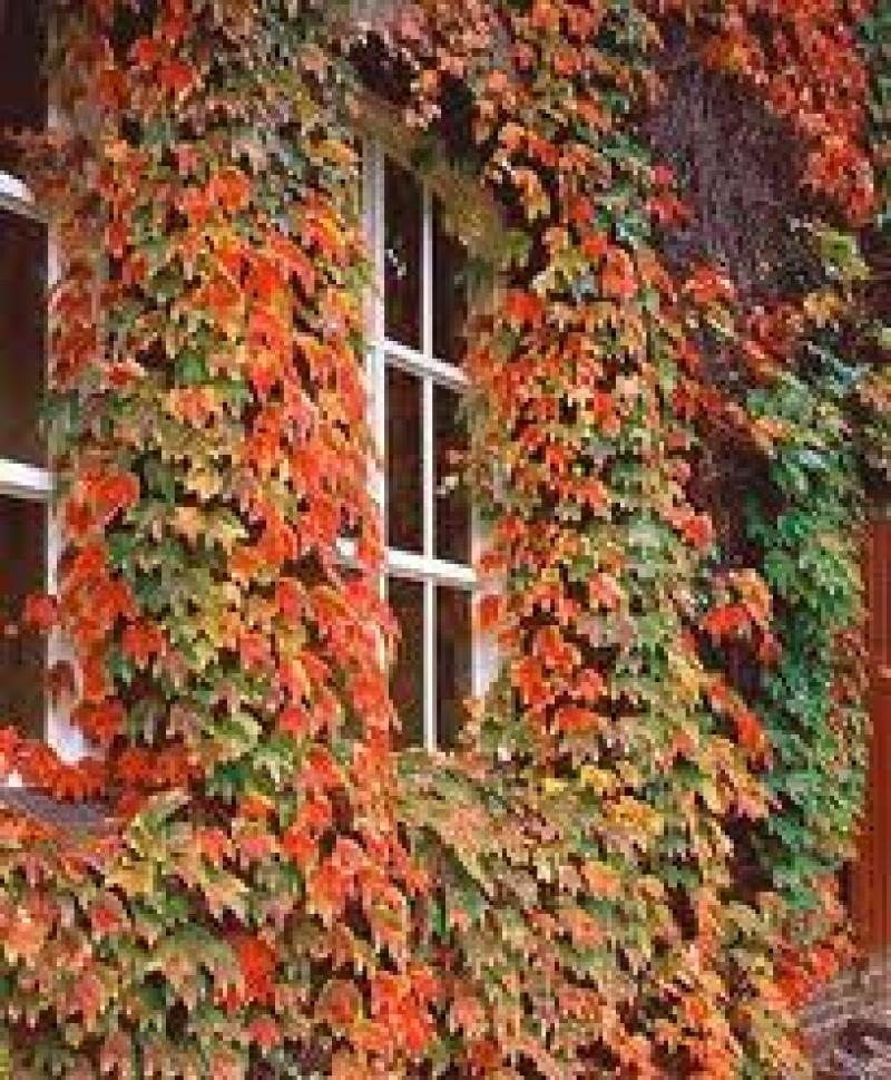 Photo: Boston-ivy