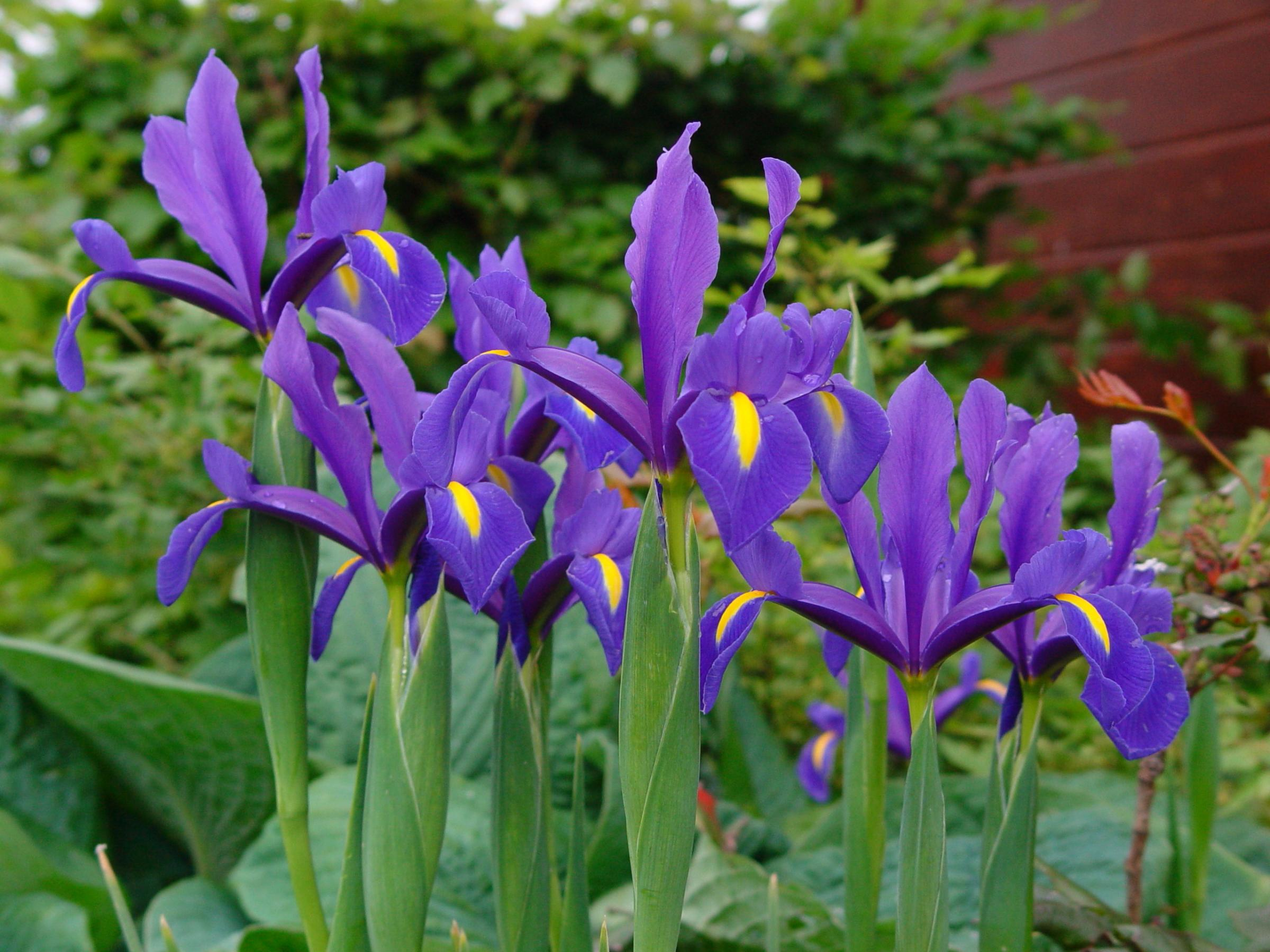 Iris 39 hollandica blue magic 39 iris 39 hollandica blue magic for Garden plants