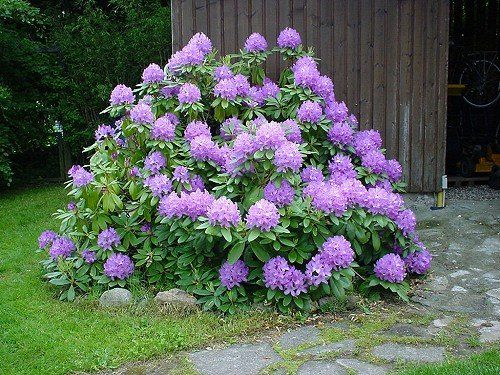 rododendron 39 catawbiense grandiflorum 39 rhododendron. Black Bedroom Furniture Sets. Home Design Ideas