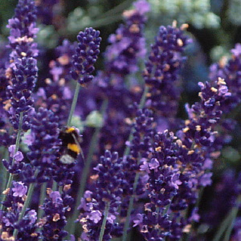 lavendel 39 peter pan 39 lavandula angustifolia 39 peter pan 39. Black Bedroom Furniture Sets. Home Design Ideas