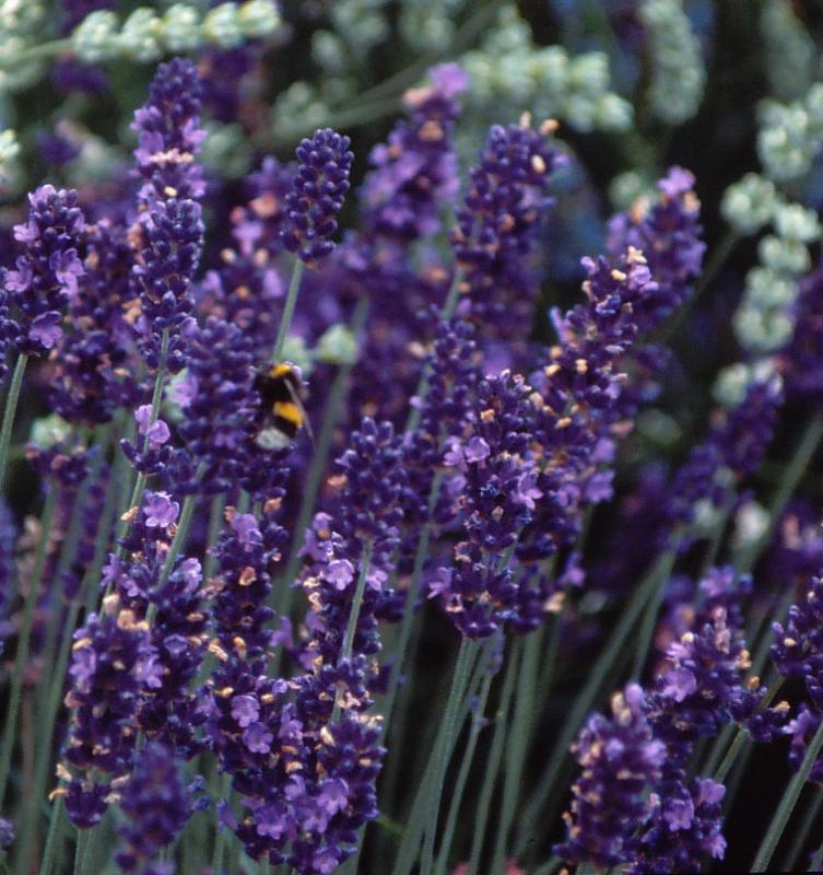 lavendel 39 peter pan 39 lavandula angustifolia 39 peter pan. Black Bedroom Furniture Sets. Home Design Ideas